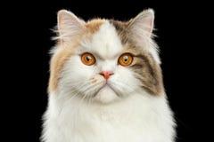 Ilsken skotsk höglands- rak katt för Closeupstående, isolerad svart bakgrund royaltyfri foto