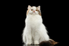 Ilsken skotsk höglands- rak katt för rolig stående, isolerad svart bakgrund royaltyfri foto