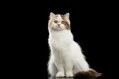 Ilsken skotsk höglands- rak katt för rolig stående, isolerad svart bakgrund arkivbild