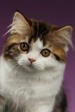 Ilsken skotsk rak kattunge för Closeupstående på lilor arkivfoto