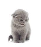 Ilsken slokörad brittisk kattunge royaltyfri foto