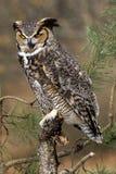 Ilsken stor Horned Owl Arkivbilder