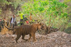 Ilsken tiger som laddar ?ver safarimedel och turister royaltyfri bild