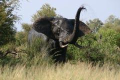 Ilsken trumpet för elefant royaltyfri fotografi