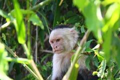 ilsken Vit-hövdad capuchin Arkivfoton