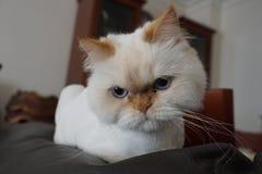 Ilsken vit persisk katt som poserar för kamera arkivfoto