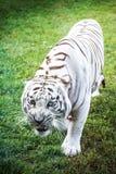 Ilsken vit tiger royaltyfria bilder