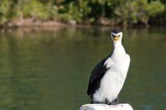 Ilsket kormoranfågelanseende på en stolpe royaltyfri bild