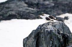 Ilskna fåglar i Antarktis Arkivbilder