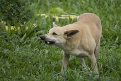 ilskna gör bar hundtänder royaltyfri fotografi