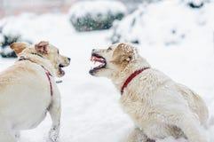ilskna gör bar hundtänder fotografering för bildbyråer