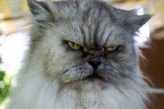 Ilskna grå katt för ondska med det olyckliga uttryckt, nära övre för stående, royaltyfri bild