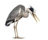 Ilskna Grey Heron, att skrika som ner ser, royaltyfri foto