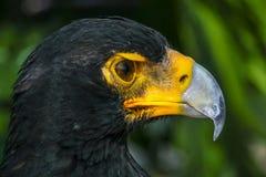 Ilskna seende svarta Eagle royaltyfri foto