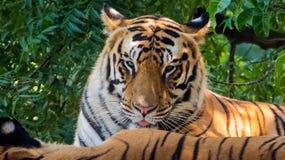 Ilskna Tiger Looking in i kamera Fotografering för Bildbyråer