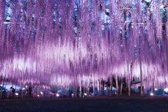 Iluminação da glicínia no parque da flor de Ashikaga foto de stock royalty free