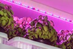 Iluminação do diodo emissor de luz usada para crescer a manjericão dentro de um armazém Foto de Stock