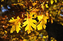 Iluminação traseira nas folhas do carvalho Fotografia de Stock Royalty Free