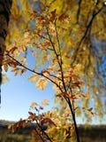 Iluminado no outono Bush do sol foto de stock