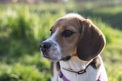 Iluminado por el sol al aire libre del perro tricolor del beagle Fotos de archivo