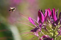 Iluminado por el sol manosee la abeja Imagen de archivo libre de regalías