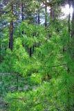 Iluminado por um ramo molhado da luz solar dos pinheiros na floresta Foto de Stock