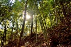 Iluminação de Sun através da floresta de bambu Fotografia de Stock Royalty Free
