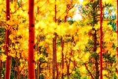 Iluminować Lasowe spadek osiki Zdjęcie Stock