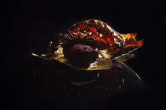Iluminujący jesieni ulistnienie z kasztanem na czarnym akrylowym szkle Obraz Stock