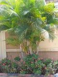 Iluquana euphobia płotową ścianą i palma Zdjęcia Royalty Free
