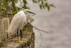 Ilusão: Dois egrets pequenos fundidos como um foto de stock royalty free