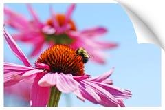 Ilusión de la impresión de un abejorro en coneflower Foto de archivo