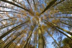 Ilusión de los árboles de pino Fotos de archivo libres de regalías