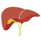 Ilustração anatômica do fígado Fotografia de Stock Royalty Free