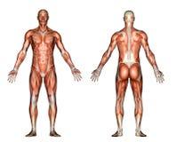 Ilustração - anatomia masculina Fotos de Stock Royalty Free