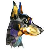 Ilustração animal da aquarela do cão do Doberman Fotos de Stock Royalty Free