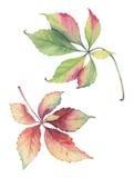 Ilustração botânica das folhas da uva do Parthenocissus Fotos de Stock Royalty Free