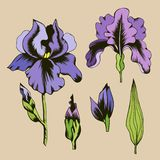 Ilustração botânica de flores roxas da íris ilustração royalty free