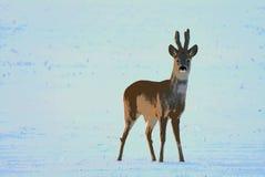 Ilustração Cervos de ovas sós perto de Siauliai, Lituânia Vista interessante fotografia de stock