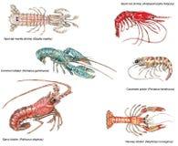 Ilustração científica de crustáceos diferentes Imagens de Stock Royalty Free