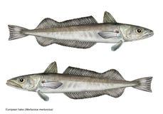 Ilustração científica do merluccius europeu do Merluccius das pescadas Foto de Stock