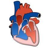 Ilustração circulatória do Sistema-vetor do coração ilustração stock