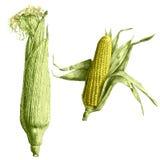 Ilustração colorida com milho em um fundo claro Imagem de Stock