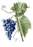 Ilustração colorida com uvas e folhas Fotos de Stock Royalty Free