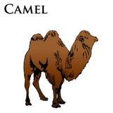 Ilustração colorida do camelo fotografia de stock