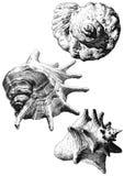 Ilustração com as conchas do mar realísticas diferentes Fotos de Stock Royalty Free