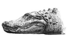 Ilustração com a cabeça de um crocodilo Fotografia de Stock