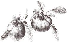 Ilustração com duas maçãs Foto de Stock Royalty Free