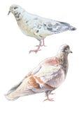 Ilustração com duas pombas Fotos de Stock Royalty Free