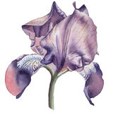 Ilustração com flor da aquarela íris Foto de Stock